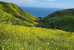 야생화 투어 7탄, 노란 봄빛 꽃물결 넘치는 솔스티스 캐년