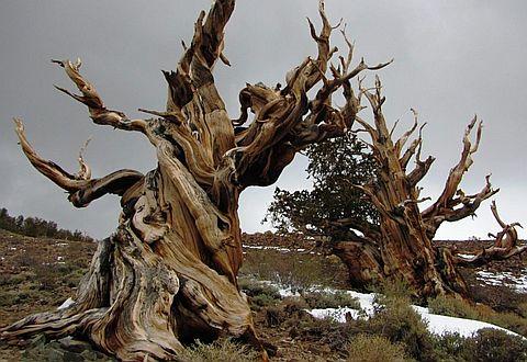 """고대 브리스틀콘 소나무 숲의 """"5000년을 산 소나무"""""""