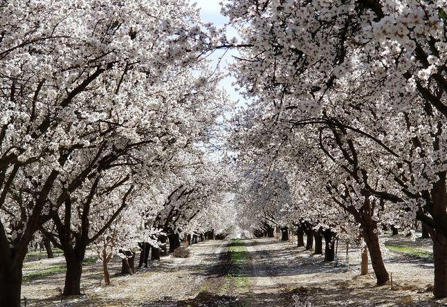 봄나들이 장소로 딱, 화사한 '프레즈노 꽃길'